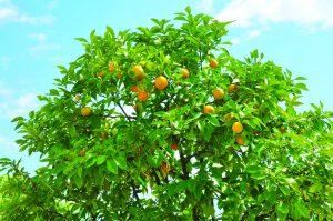 Citrus Trees: A Favorite Since Ancient Times