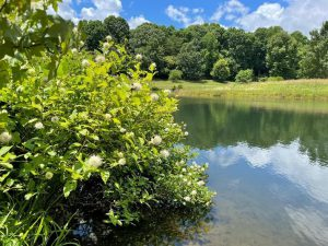 Buttonbush: A Plant that Thrives in Wet Soils